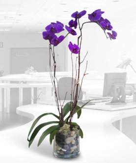 Purple Phalaenopsis Orchid Plant in a glass container